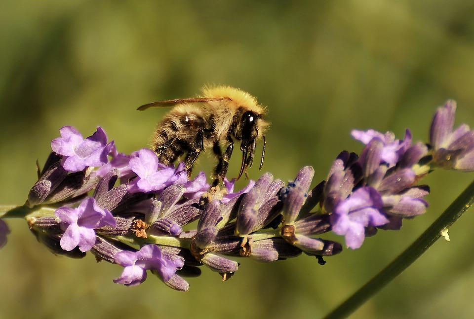 Wild Bee, Macro, Nature, Flower, Insect, Close Up