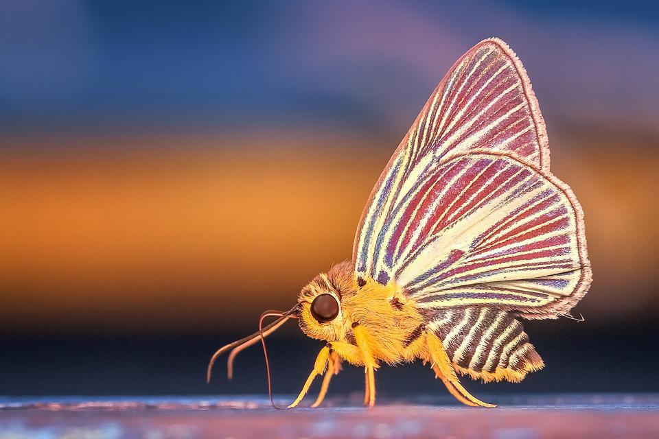Morph, Butterfly, Insect, Macro, Animal, Nature