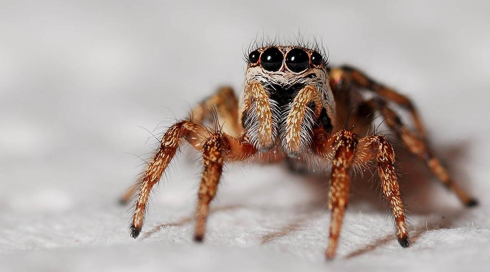 Spider, Macro, Zebra Spider, Insect, Arachnid, Nature