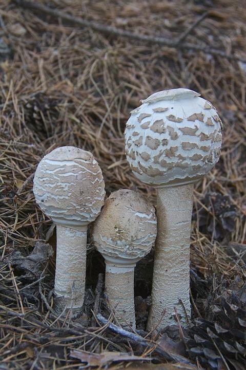 Mushroom, Macrolepiota, Fungi, Nature, Forest, Autumn