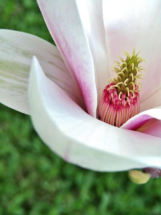 Magnolia, Magnolia Blossom, Flower, Nature, Plant