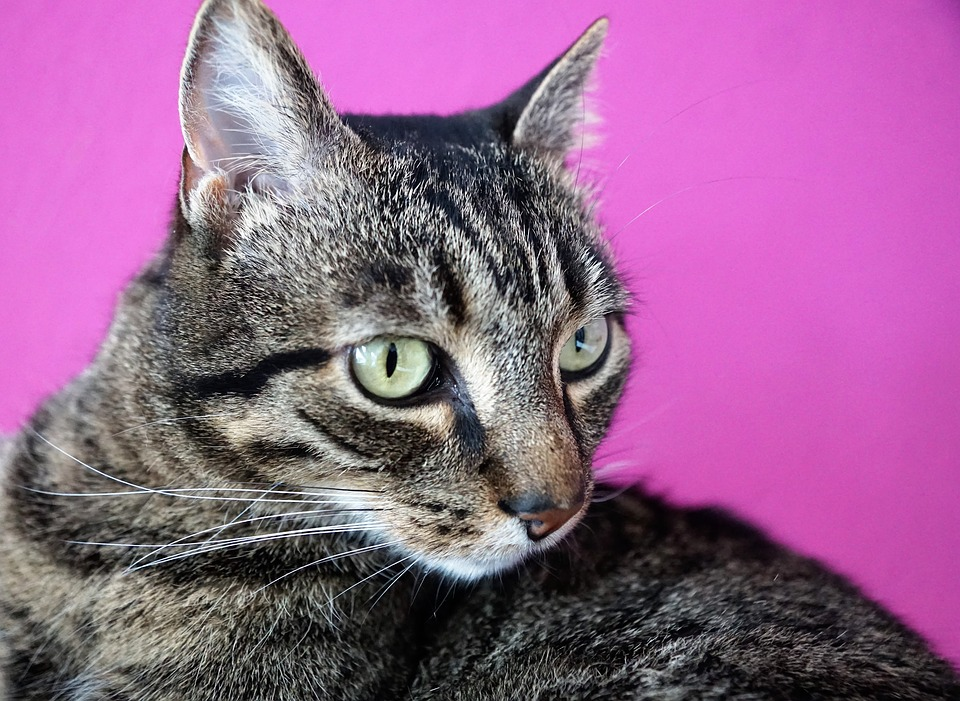 Cute, Animal, Cat, Mammal, Pet, Portrait, Nature, Fur
