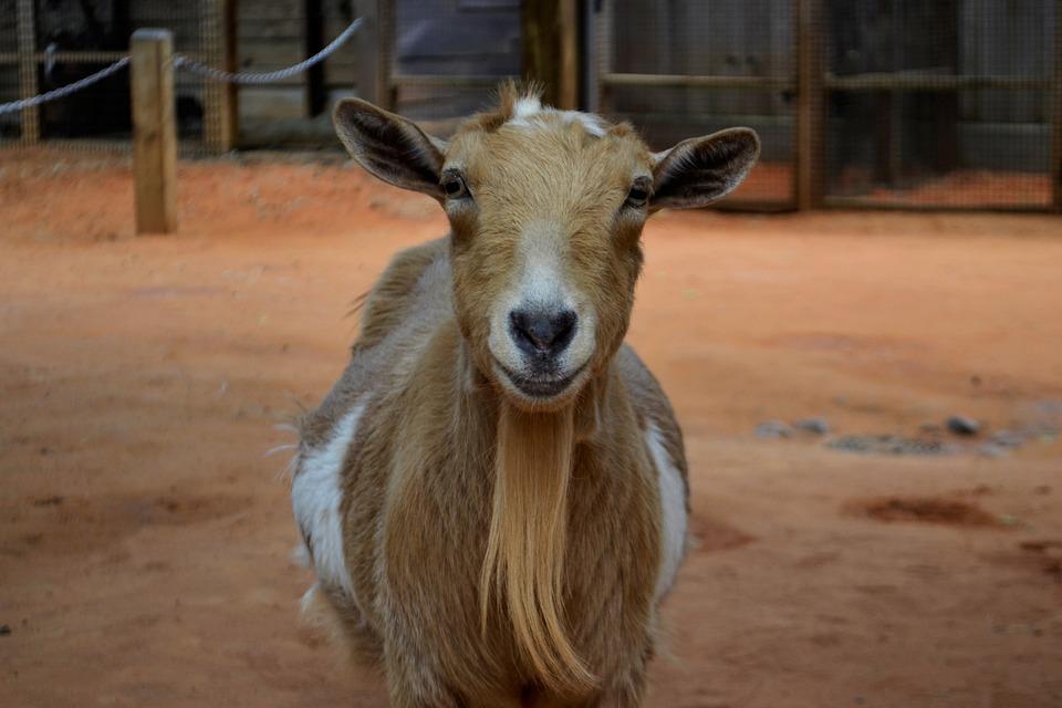 Goat, Animals, Livestock, Mammal, Nature, Creature