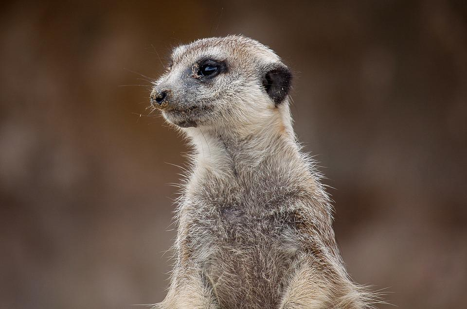 Meerkat, Animal, Mammal, Nature, Nager, Cute, Vigilant