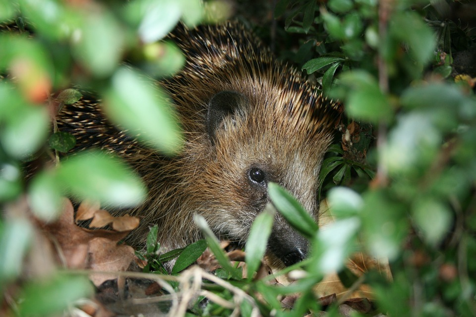 Hedgehog, Nature, Animal, Spur, Nocturnal, Mammal, Cute
