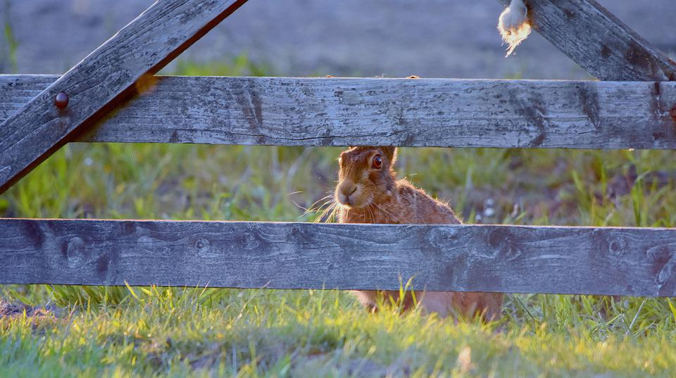 Hare, Animal, Field, Grass, Nature, Ears, Mammal, Wild