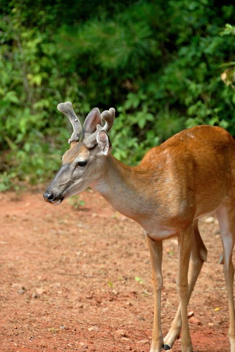 Deer   Nature   PBS