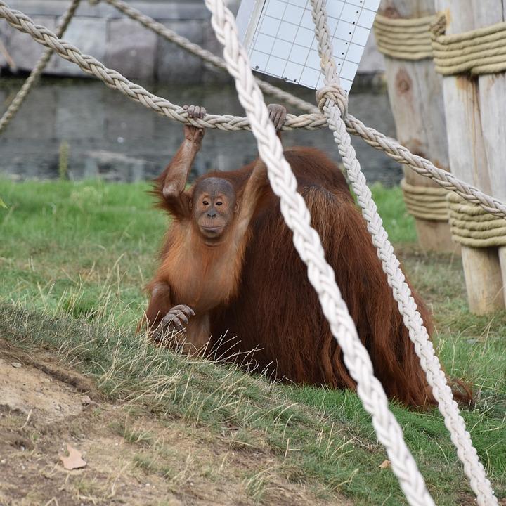 Orangutan, Baby, Monkey, Mammals, Zoo, Nature