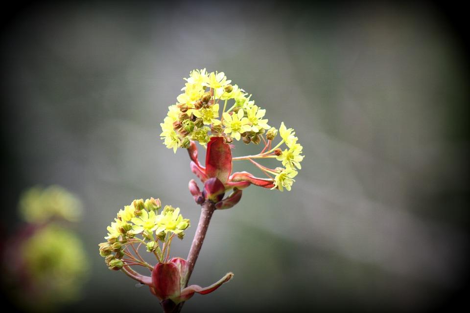 Blossom, Bloom, Tree, Maple, Plant, Nature, Bloom