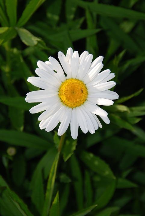 Margaretka, Flower, Garden, Nature, Plant, Flora
