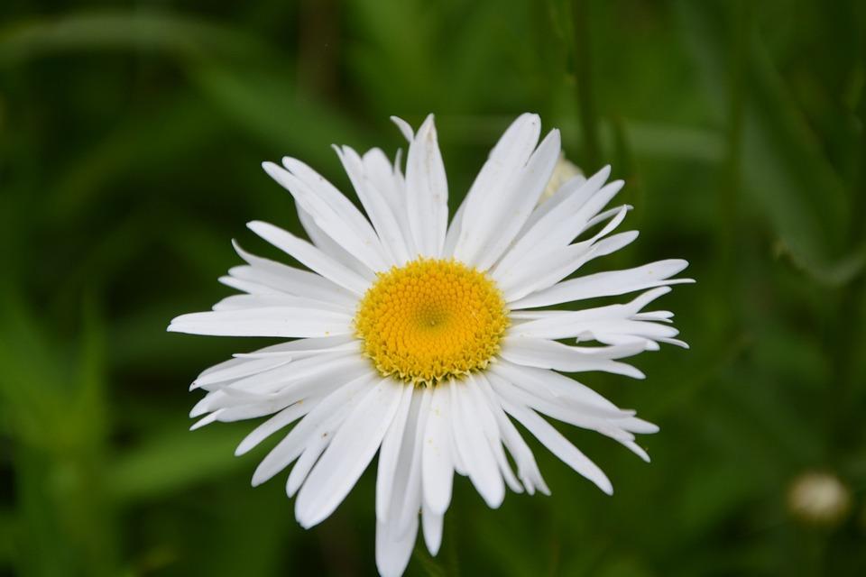 Flower, Nature, Marguerite, Spring, Summer Flowers
