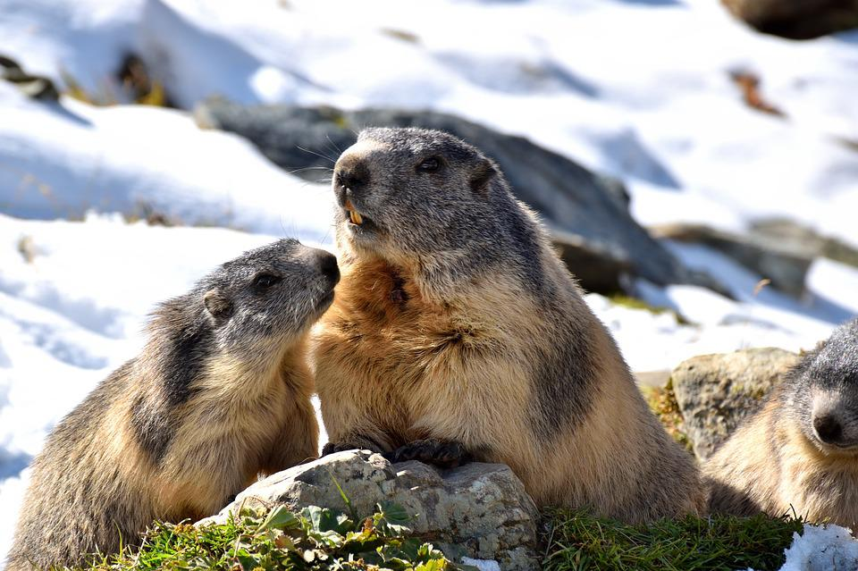 Marmots, Nature, Snow, Rodent, Alpine