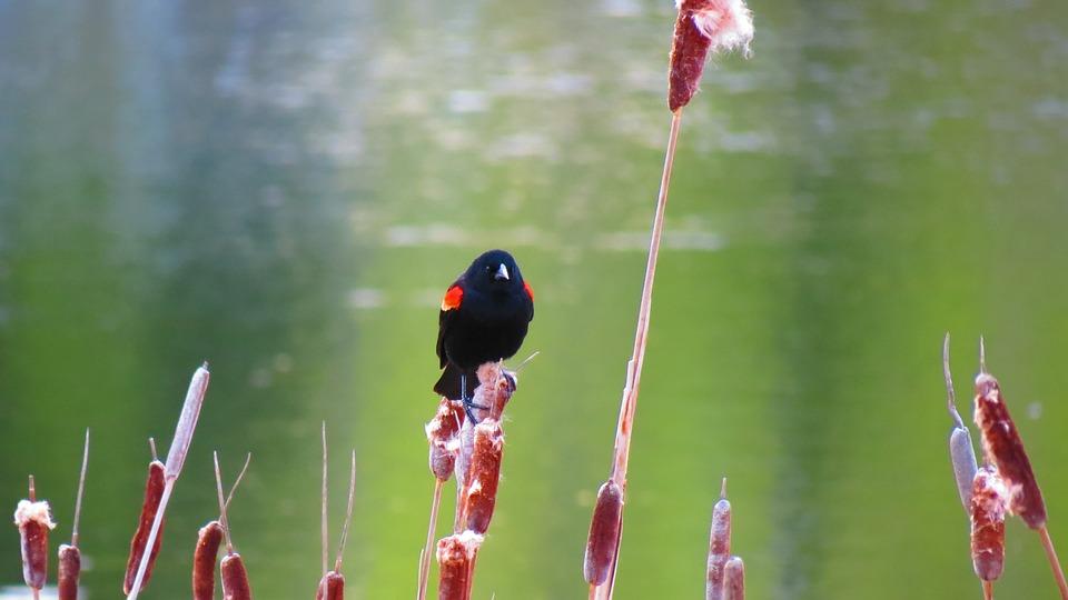 Red-winged Blackbird, Nature, Marsh, Wetland, Spring