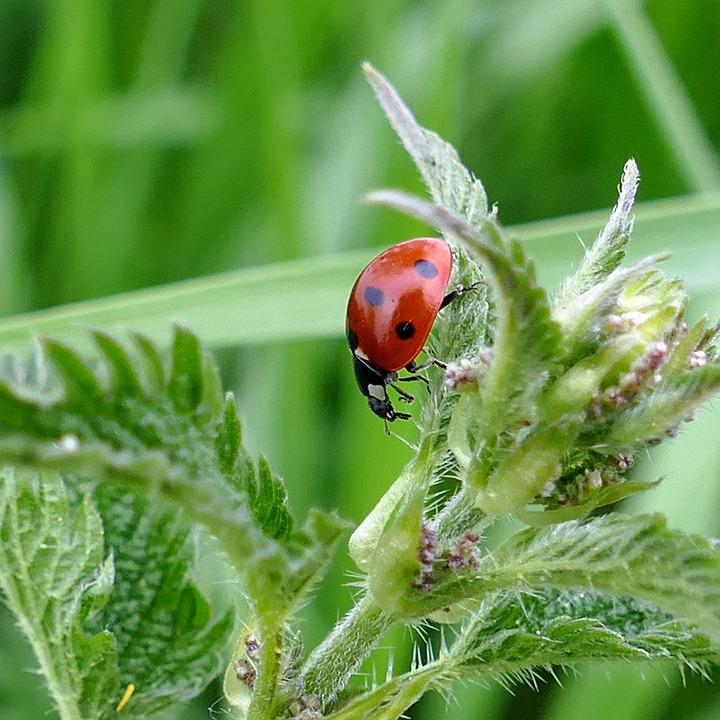 Beetle, Ladybug, Stinging Nettle, Nature, Meadow