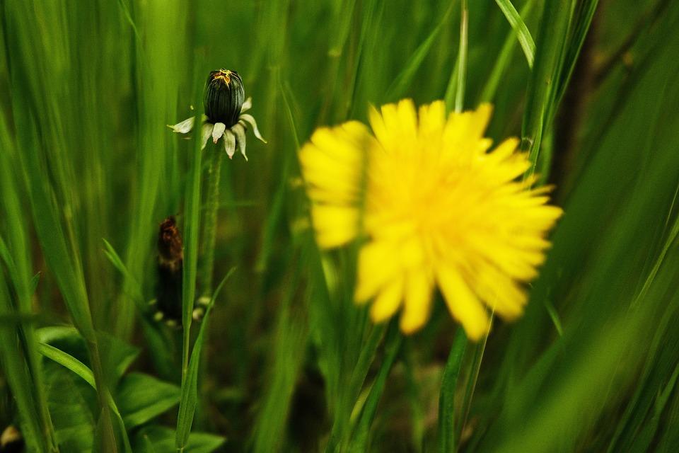 Meadow, Nature, Dandelion, Wild Flowers, Flower Meadow