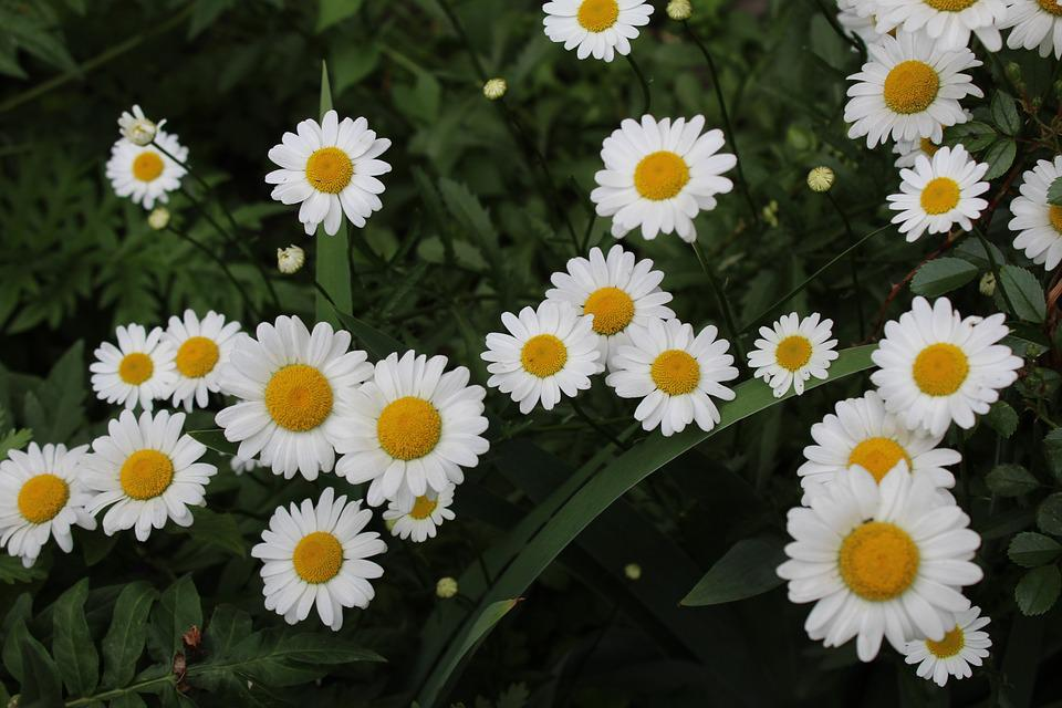 White Daisies, Garden, Meadow, Flowers, Nature