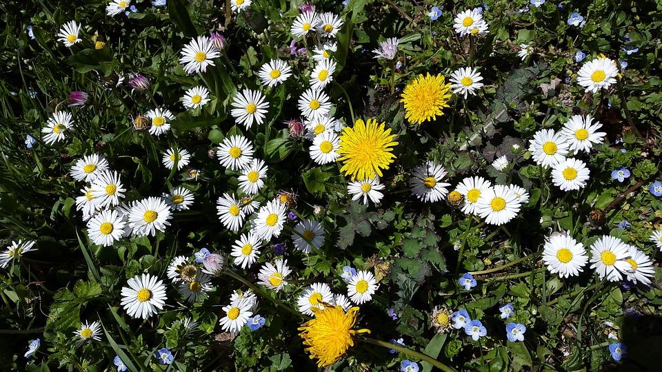 Flower Meadow, Daisy, Meadow, Nature, Flowers, Summer