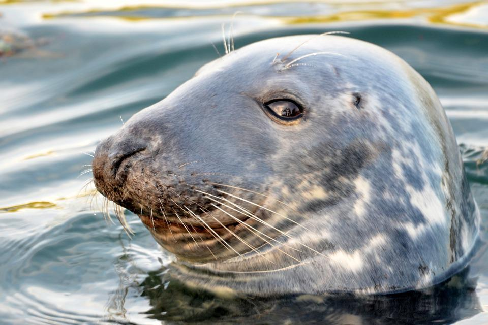 Seal, Sea, Beach, Nature, Animal, Meeresbewohner, Water
