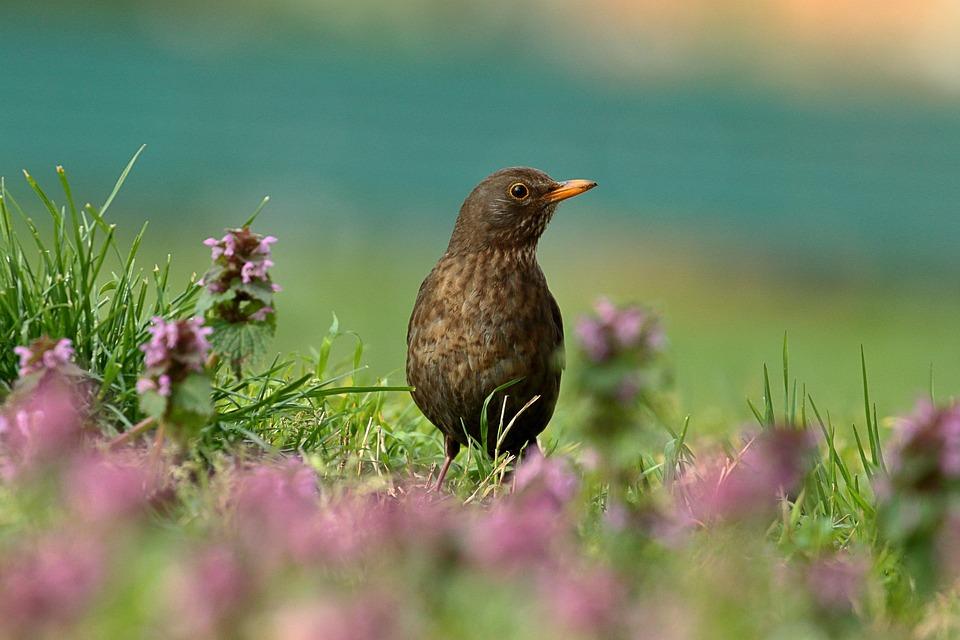 Bird, Nature, Spring, Merlo