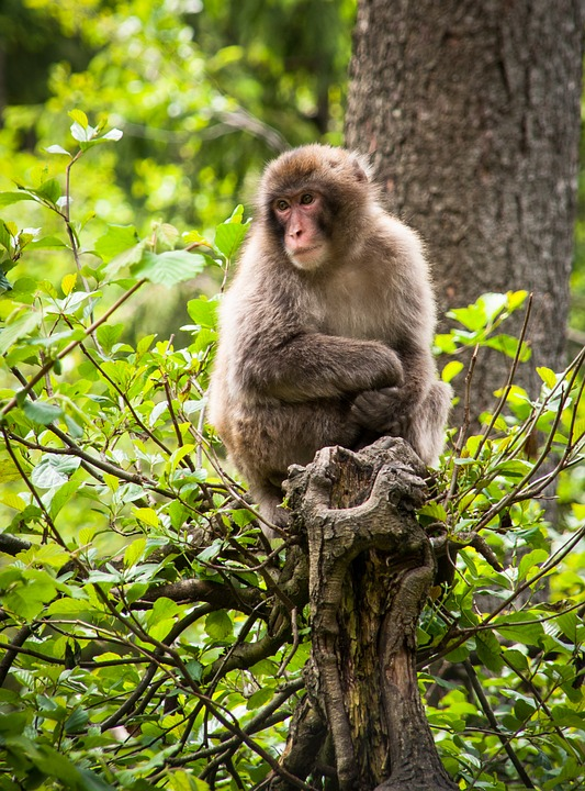 Monkey, Tree, Austria, Landskron Castle, Nature, Animal