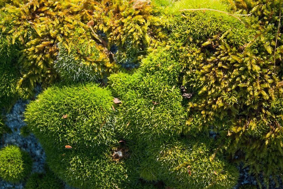Lichen, Moss, Nature, Plant, Outdoor, Green, Fresh