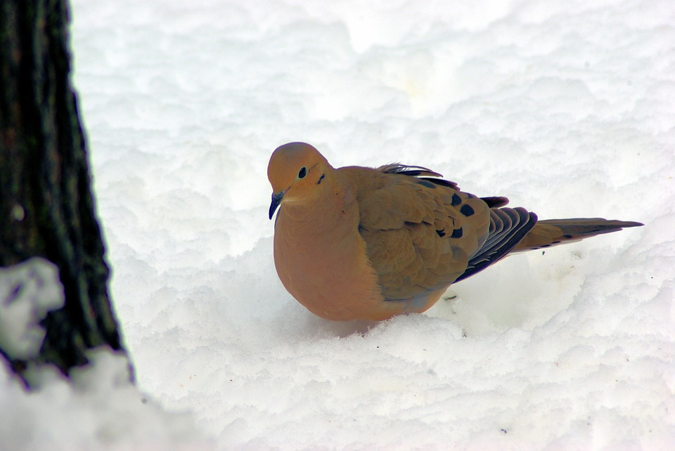 Mourning Dove In Snow, Dove, Mourning, Bird, Nature