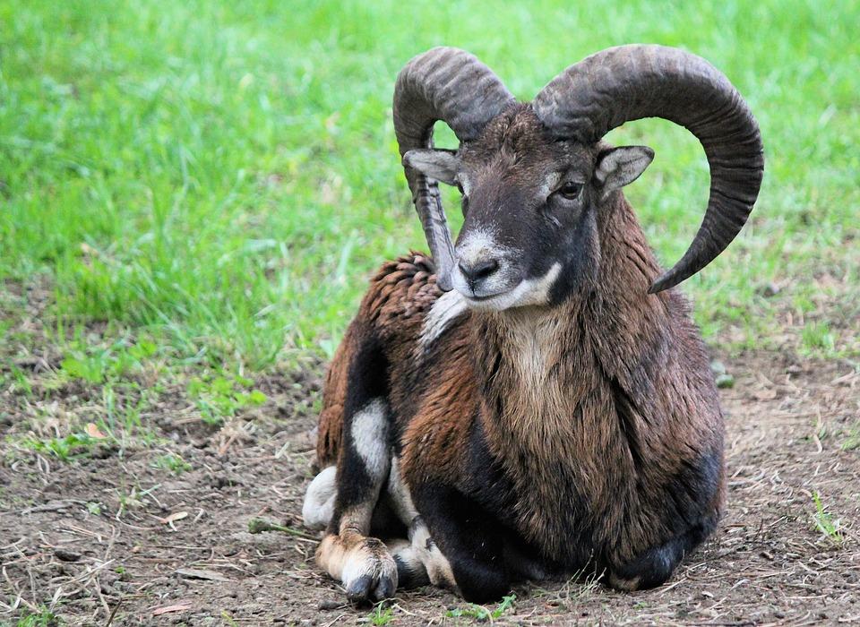 Muflon, Male, Sheep, Animal, Mammal, Corners, Nature