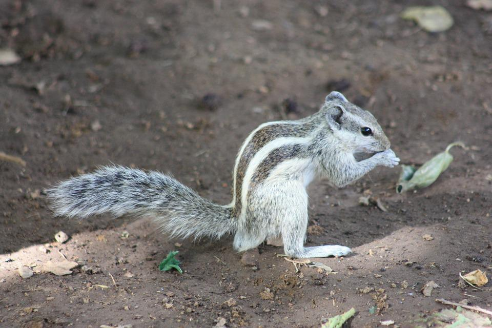 Chipmunk, Animal, Nature, Cute, Furry, Nager, Croissant