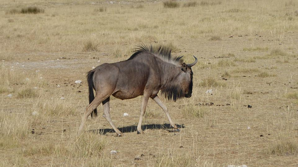 Namibia, Gnu, Nature, Africa, Tourism, Travel
