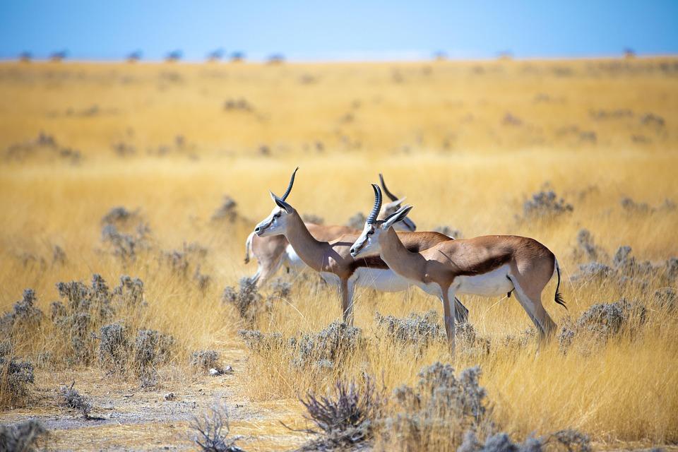 Springbok, Antelope, Africa, Animal, Namibia, Nature