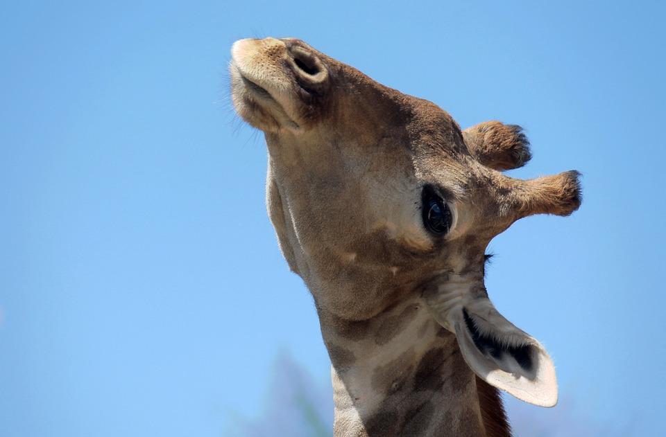 Giraffe, Head, Animals, Nature, Neck, Animal