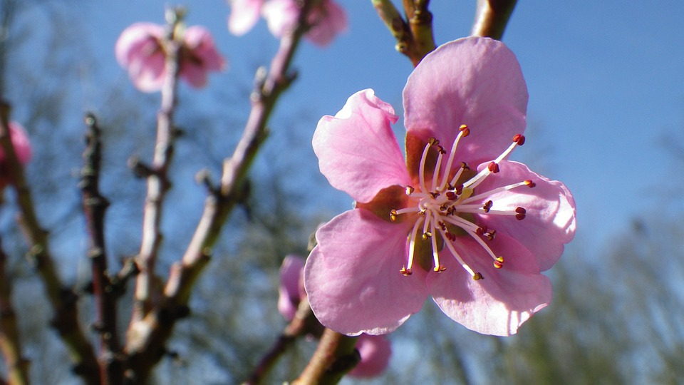 Flower, Pink, Sky, Nectarine, Spring, Flowering, Nature