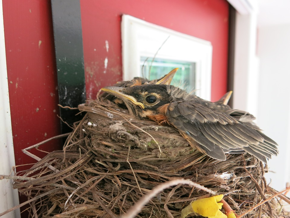 Robin, Bird, Baby, Fledgling, Redbreast, Nest, Nature