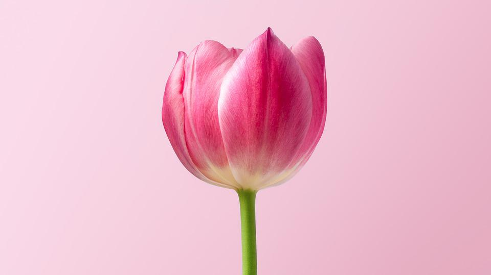 Nature, Plant, No Person, Summer, Lively, Tulip