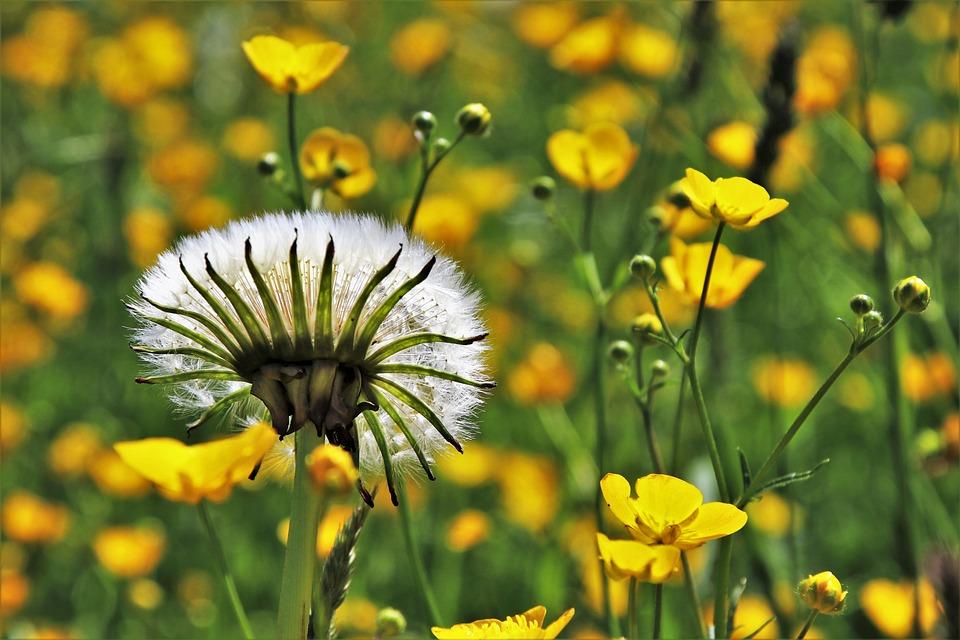 Dandelion, Spring, Nuns, Nature, Flower, Plant, Field