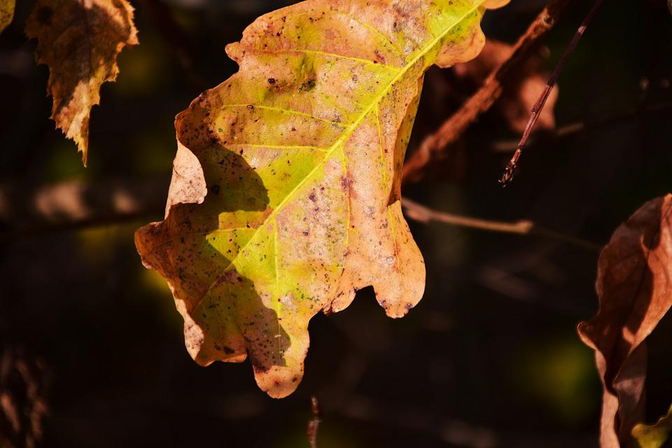 Leaf, Autumn, Leaves, Dry, Oak Leaf, Oak Leaves, Nature
