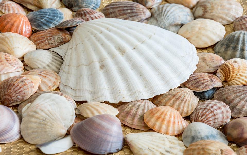 free photo nature ocean sea sea shell sea shells shells max pixel