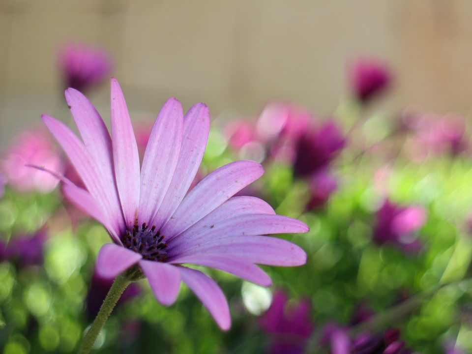 Blossom, Bloom, Bud, Flower, Aster, Nature, Of Course