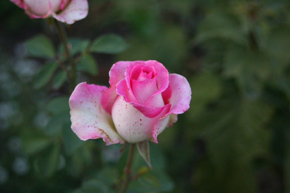 Free photo nature one rose flower rose roses beautiful flower rose flower beautiful flower roses one rose nature voltagebd Image collections