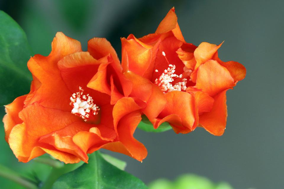 Pereskia Sacharosa, Pereskia, Orange Flowers, Nature