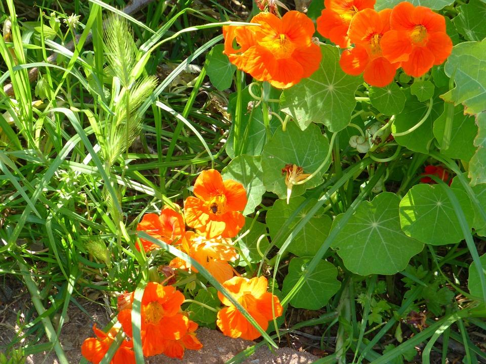 Nasturtium, Plant, Grass, Orange, Flowers, Nature