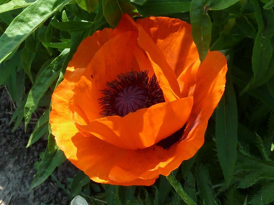 Close-up, Flower, Orange, Nature, Summer, Plants