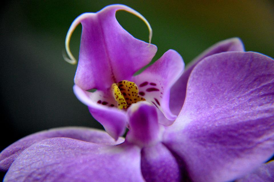 Orchis, Flower, Blooming, Nature, Orchid, Plant