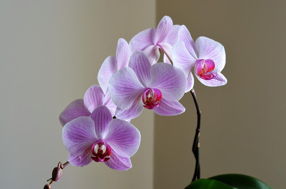 Orchid, Lila, Flower, Nature, Plant, Beautiful