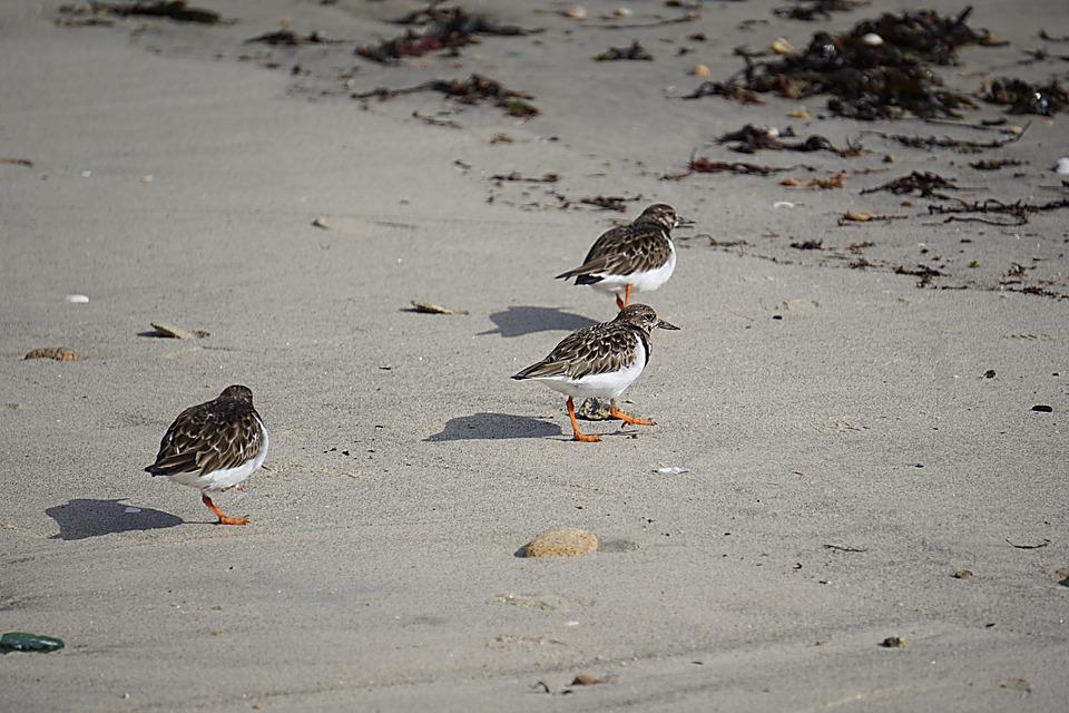 Birds, Plovers, Fauna, Ornithology, Nature, Wild