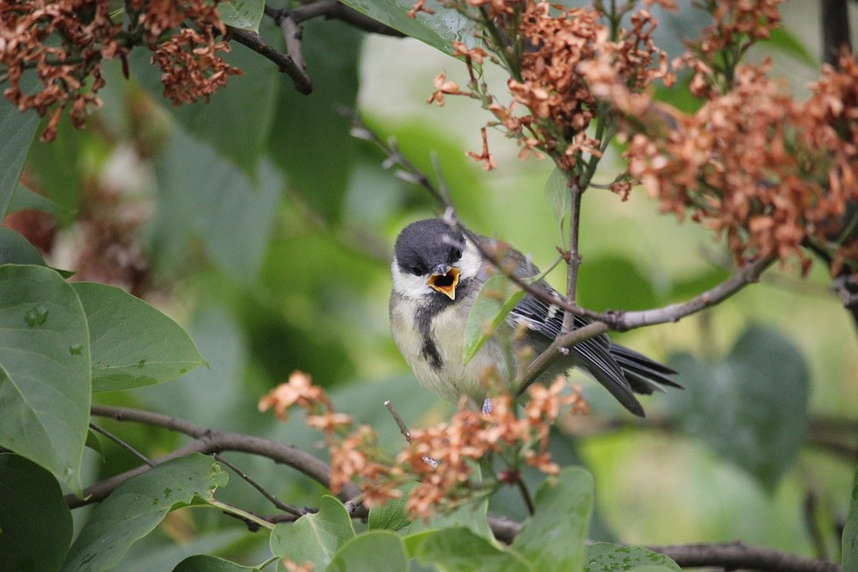 Coal Tit, Bird, Norway, Oslo, Park, Forest, Nature