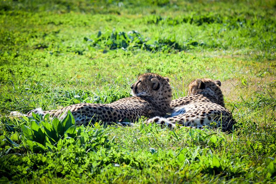 Cheetah, Nature, Wildlife, Grass, Animal, Outdoors