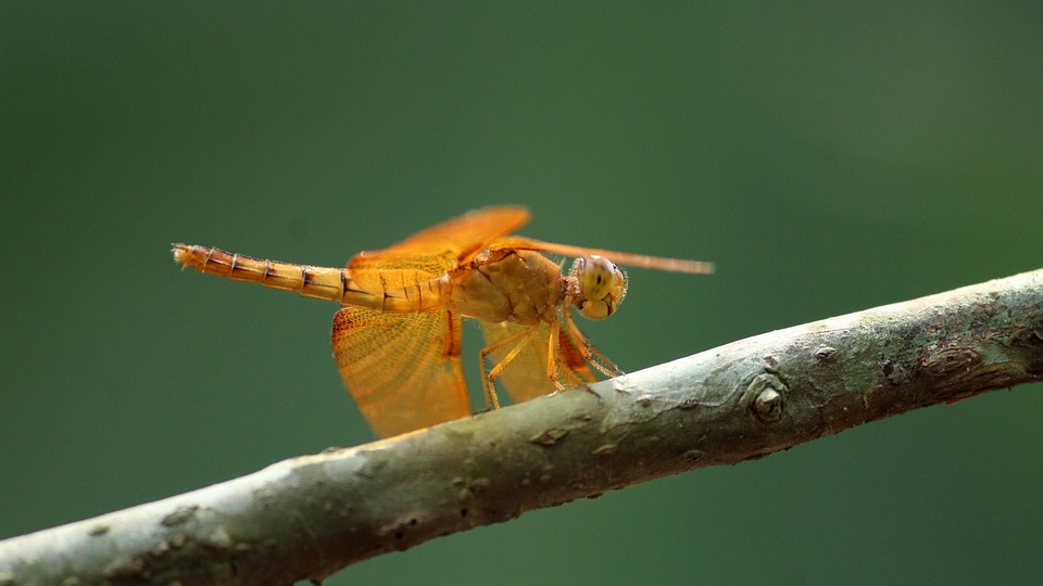 Insect, Nature, Wildlife, Outdoors, Closeup, Dragonfly