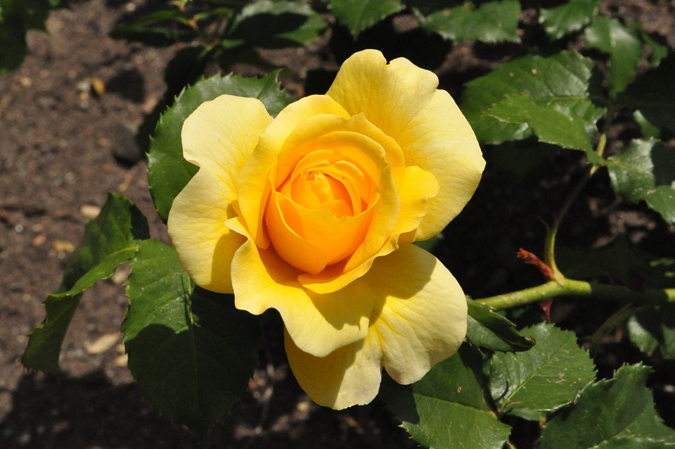 Rose, Plant, Flower, Garden, Nature, Outdoors, Perfume