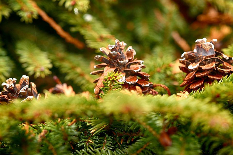 Nature, Tree, Season, Outdoors, Pinecone